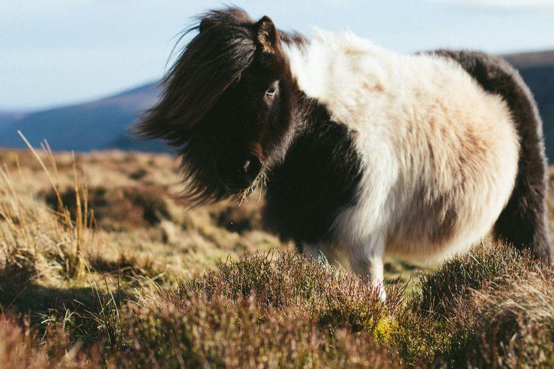 brecon-beacons-pony