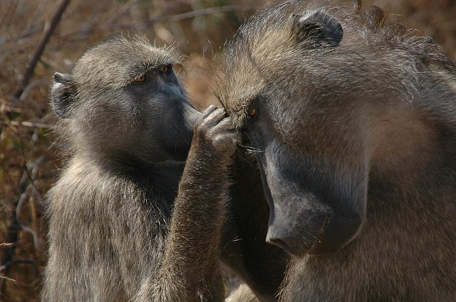 baboons-africa