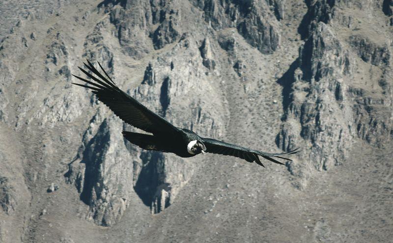 condor-colca-canyon-peru