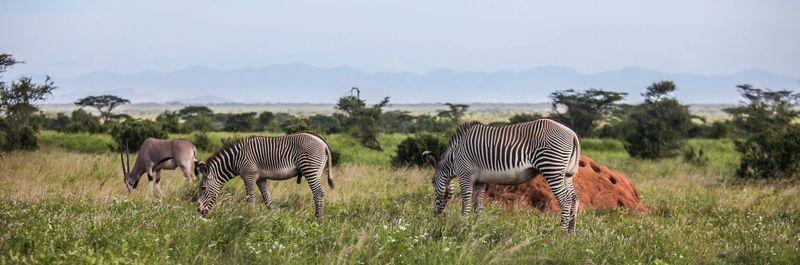 Zebras in Samburu National Reserve Kenya
