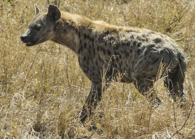 hyena in serengeti