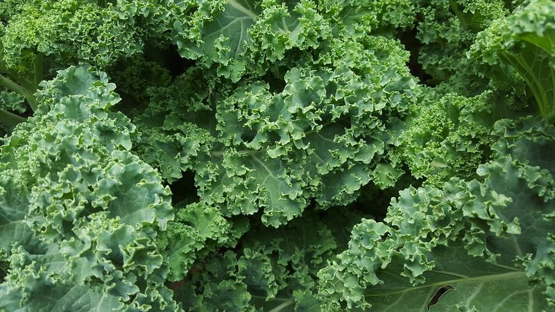 fresh kale leaves