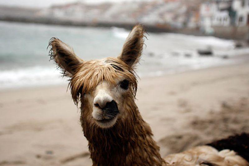 pisco-surfing-alpaca