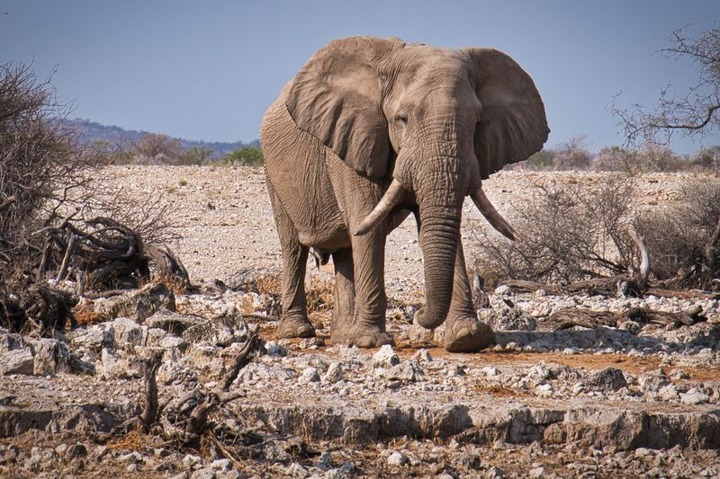 elephant in etosha national park namibia