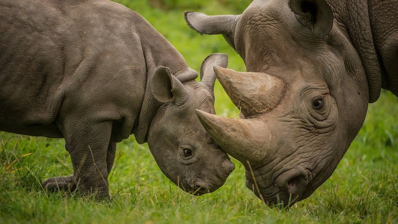 Rhino with baby calf - Tanzania travel