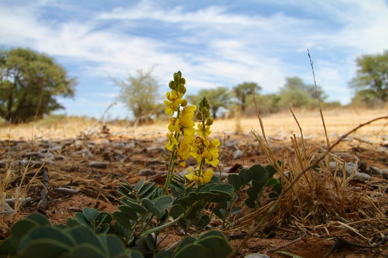 flower in kalahari botswana