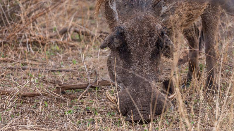 warthog in kruger