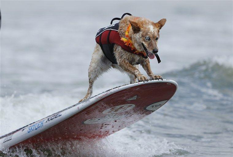 world-dog-surfing-championships
