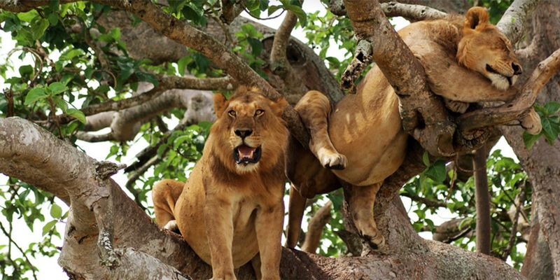 tree-climbing lion in uganda