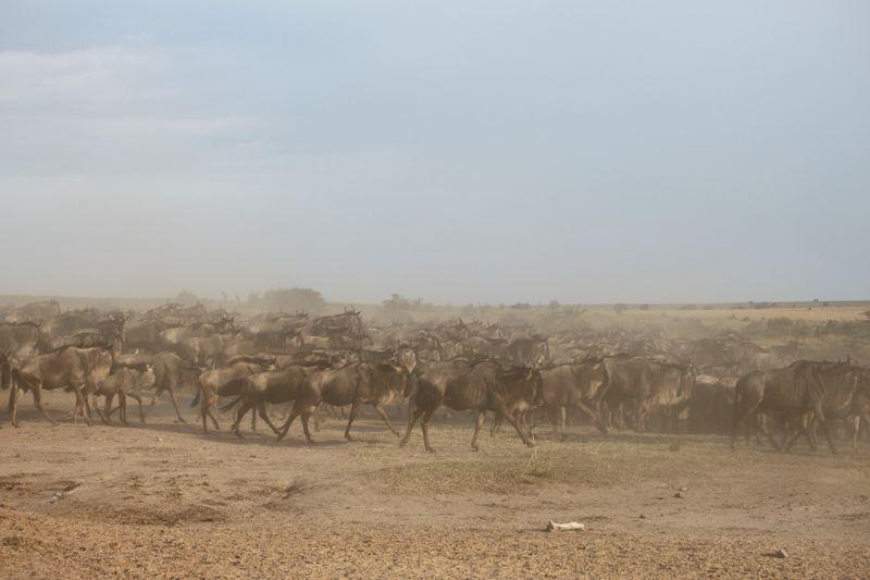 migration in serengeti
