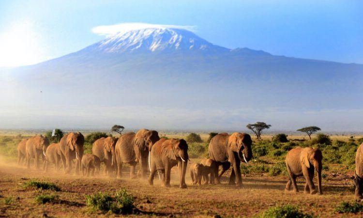 Elephants in front on Mount Kilimanjaro