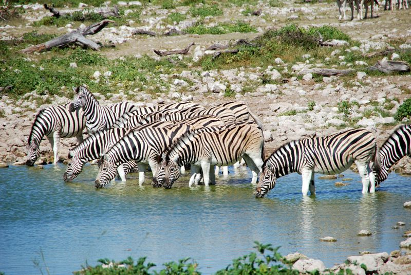 zebras at a waterhole in etosha national park namibia