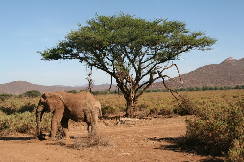 elephant in samburu national park