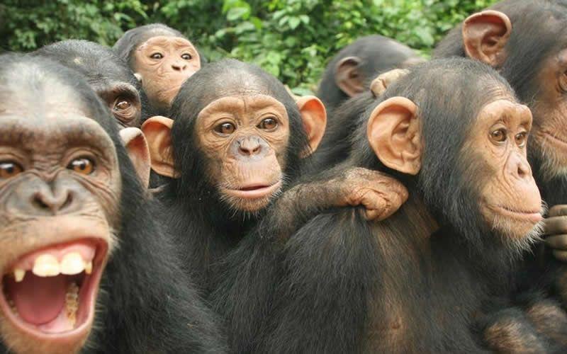 chimpanzees in rwanda