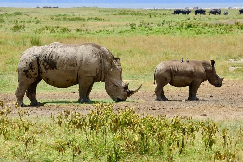 rhinos in serengeti
