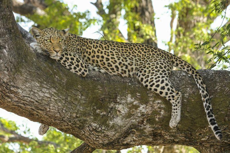 leopard in the okavango delta