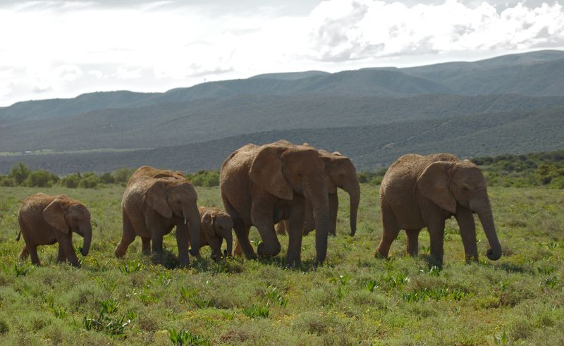 Elephants in Addo Elephant National Park