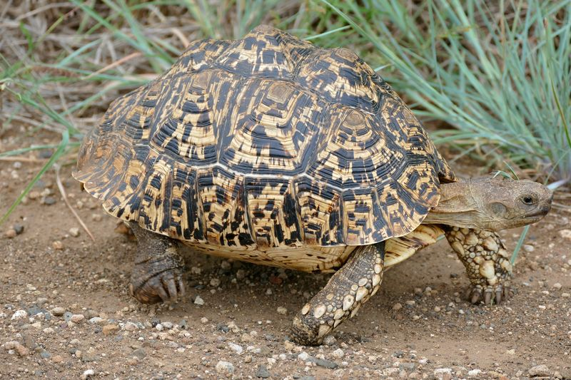 The Leopard Tortoise