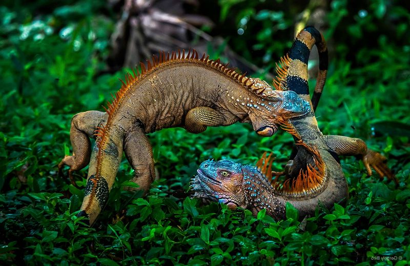 Iguanas fighting