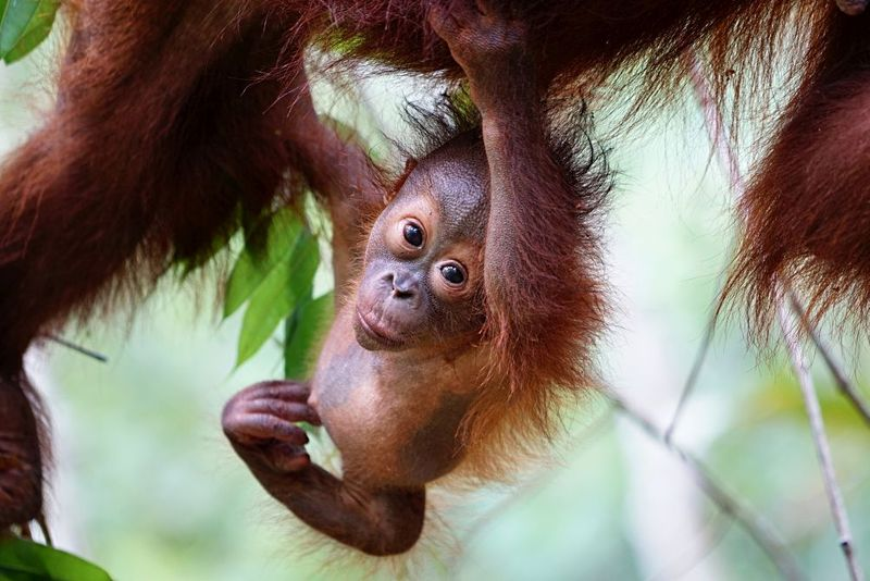 baby orangutan palm oil