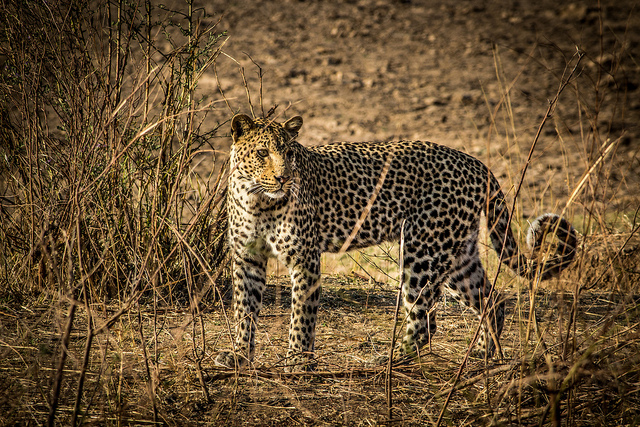leopard-south-luangwa-zambia