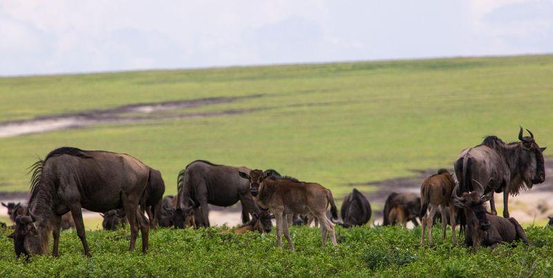 migrating wildebeest in tanzania