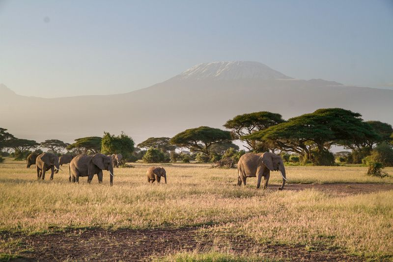 elephants in amboseli nationla park, kenya