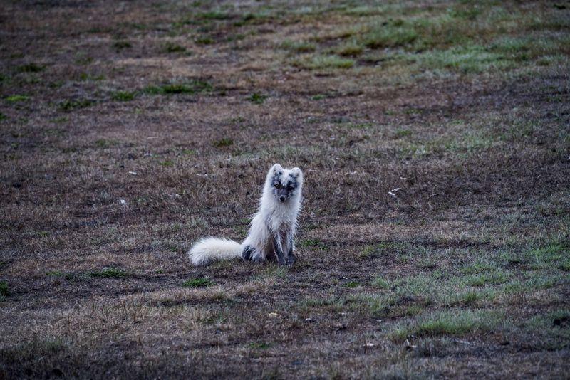 arctic-fox-wetsfjords-iceland