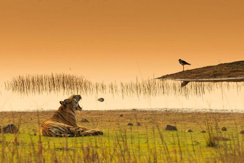 Safari in Tadoba India