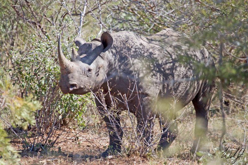 black rhino in kruger