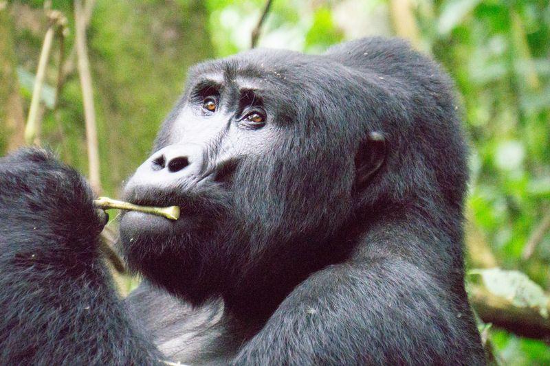 gorilla in bwindi impenetrable national park uganda