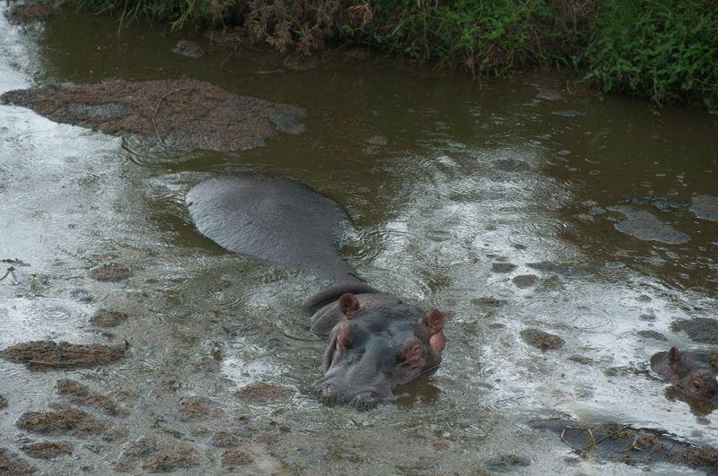 hippo-maasai-mara