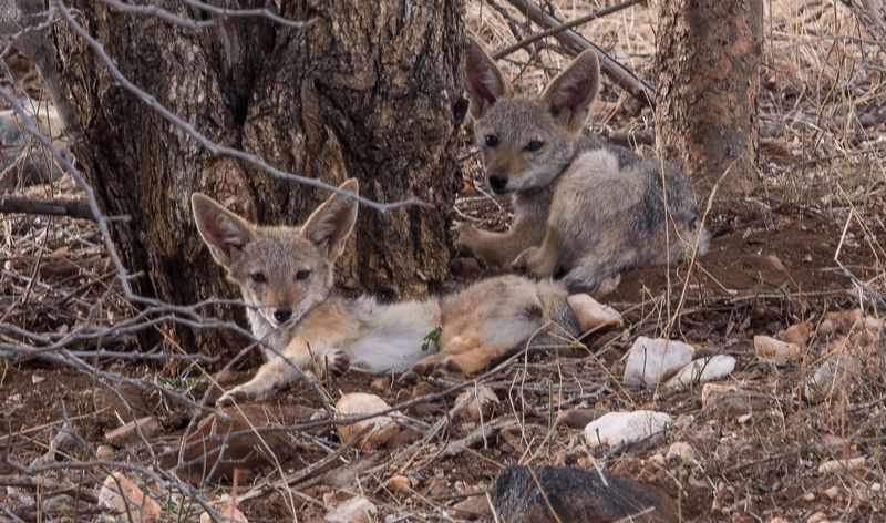 jackals in south africa