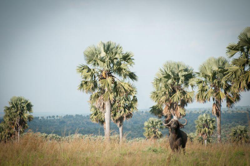 Buffalo-Murchinson-Falls-Uganda