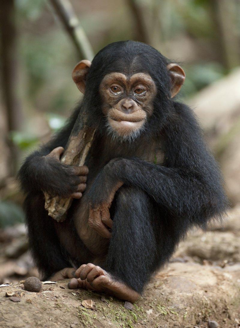 Cultures of chimpanzees