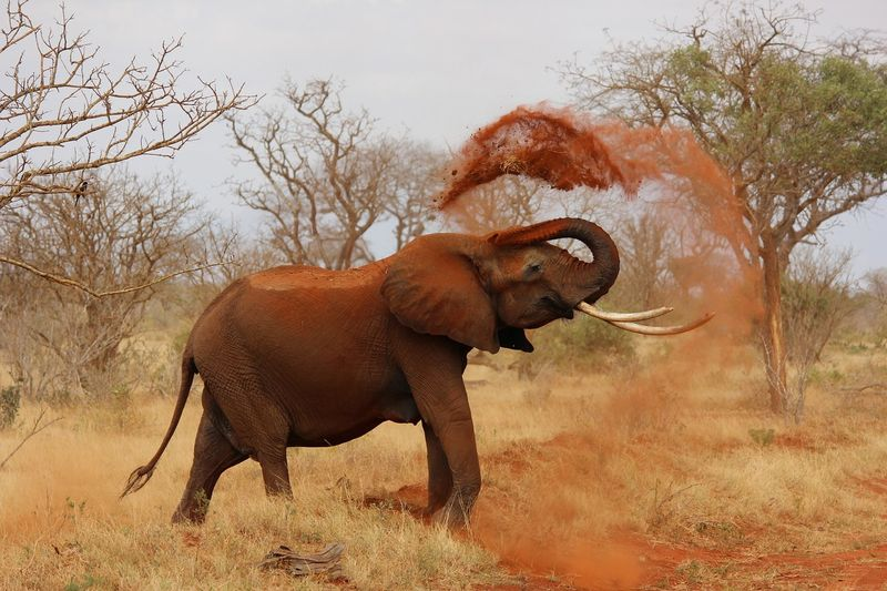 elephant in tsavo