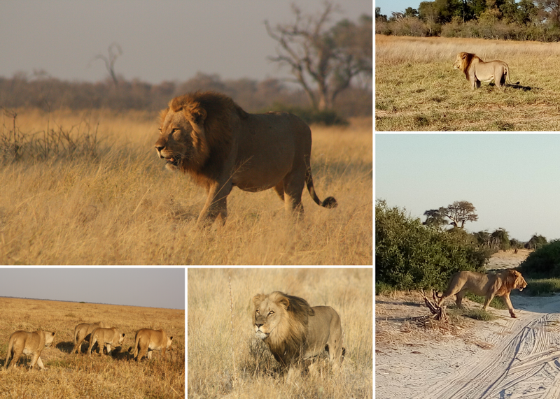 lions in moremi game reserve botswana