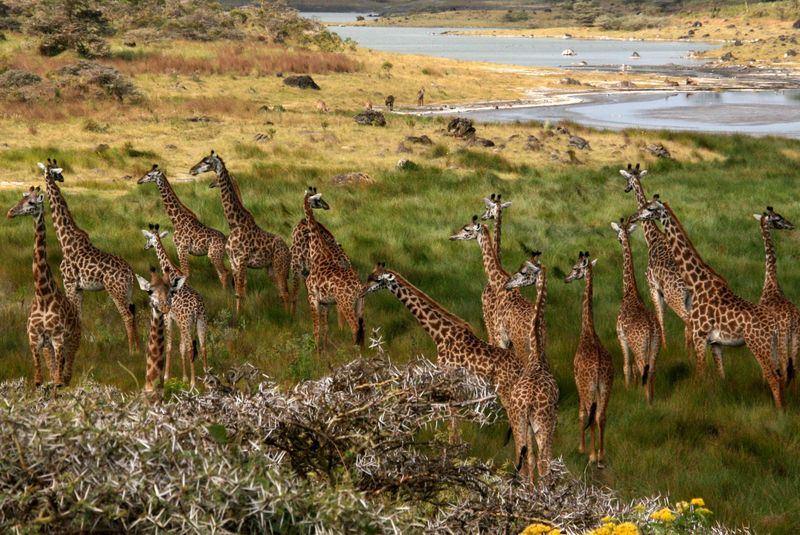 giraffes in arusha national park
