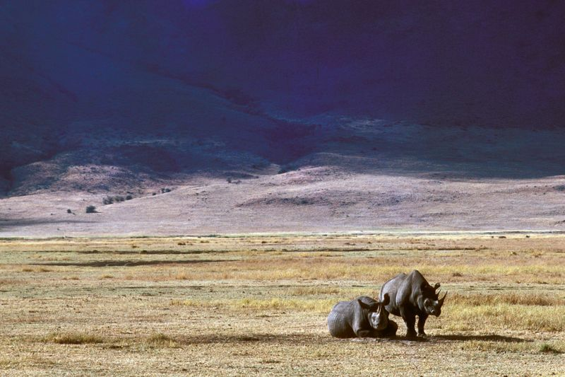 rhinos at ngorongoro crater