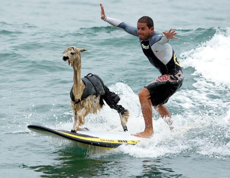 surfing-alpaca