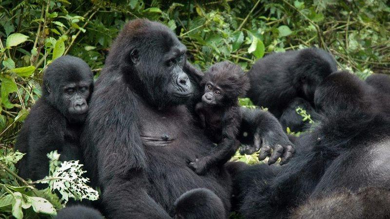 gorillas in Biwindi, Uganda