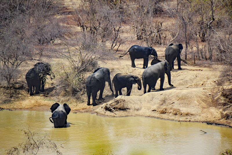 elephants in mole national park, ghana