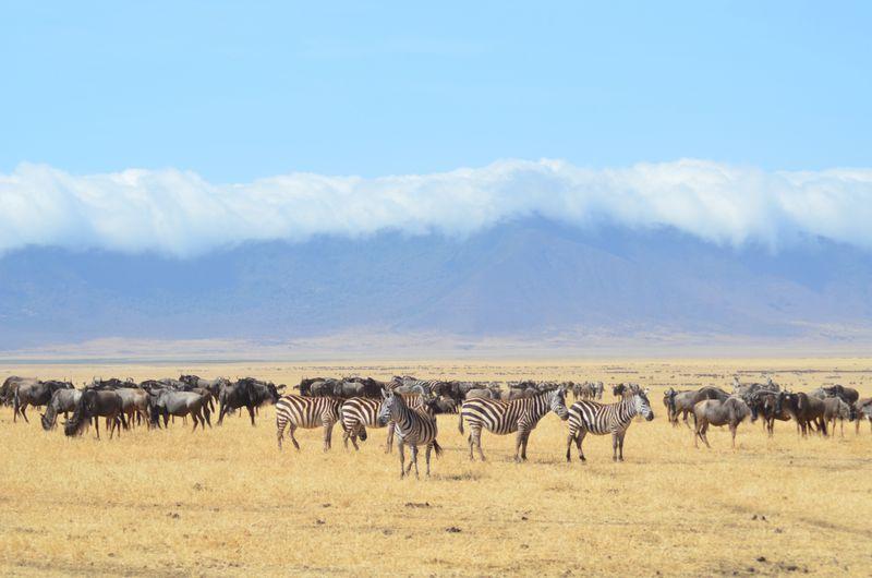 zebras and wildebeest in the serengeti