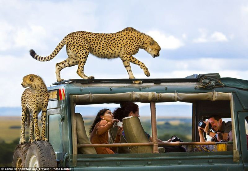 cheetah sitting on safari car