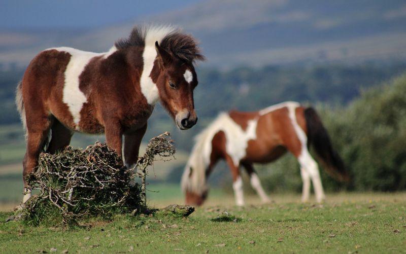 pony-dartmoor-england