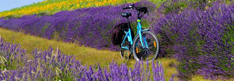 Bike in lavender field