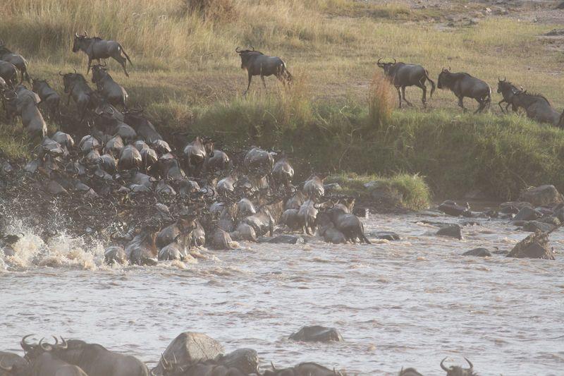 wildebeest in serengeti tanzania