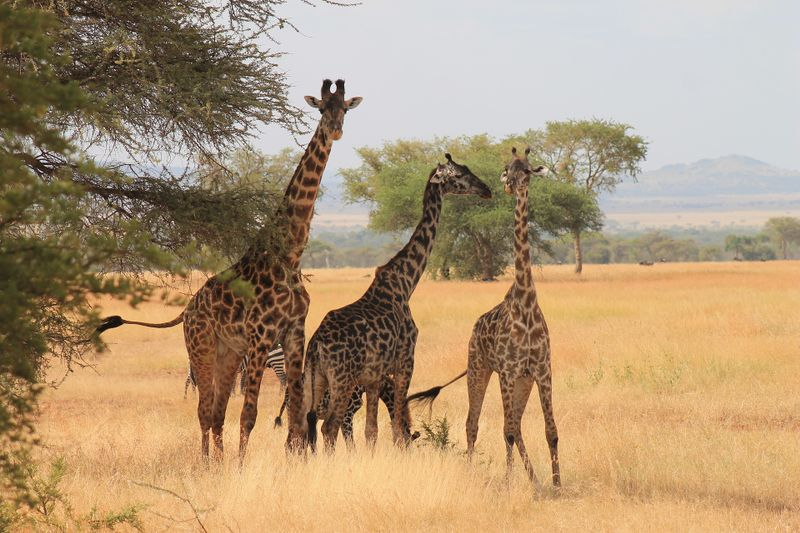 giraffes in the serengeti