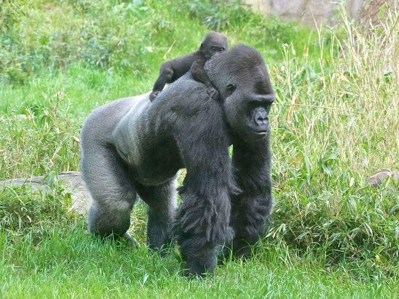 Gorilla and baby in Uganda