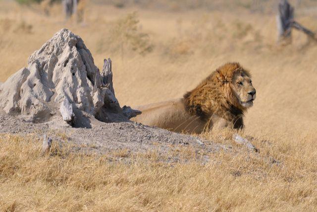 Botswana lion